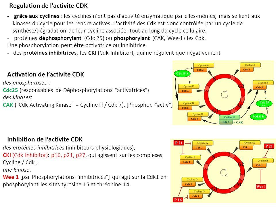 Regulation de lactivite CDK - grâce aux cyclines : les cyclines n ont pas d activité enzymatique par elles-mêmes, mais se lient aux kinases du cycle pour les rendre actives.