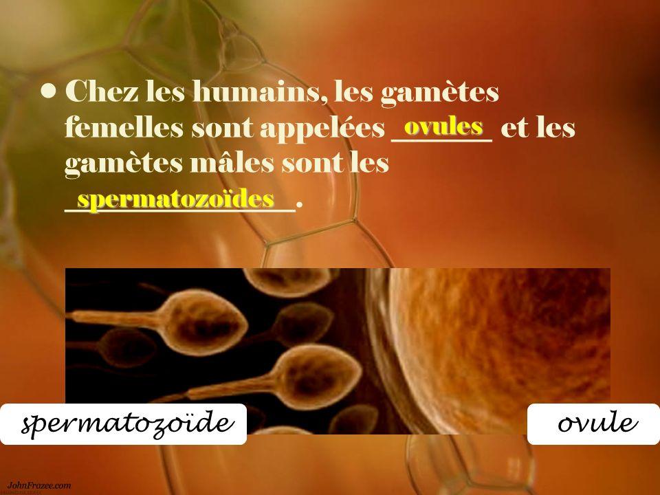 Chez les humains, les gamètes femelles sont appelées _______ et les gamètes mâles sont les ________________. spermatozoïdes ovules ovulespermatozoïde