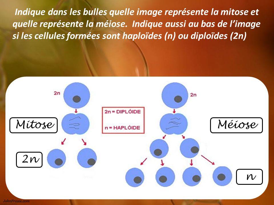 Mitose 2n Méiose n Indique dans les bulles quelle image représente la mitose et quelle représente la méiose. Indique aussi au bas de limage si les cel