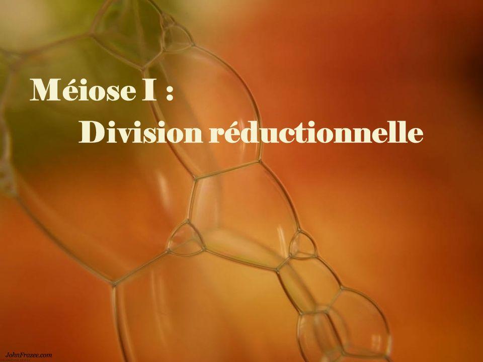 Méiose I : Division réductionnelle