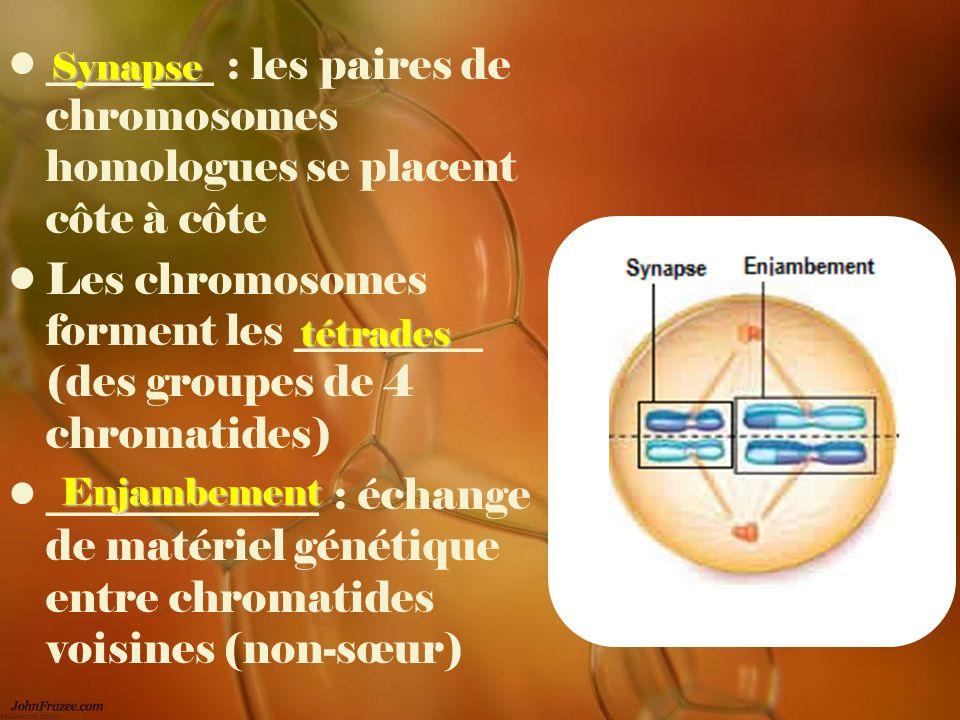 Les chromosomes forment les _________ (des groupes de 4 chromatides) _____________ : échange de matériel génétique entre chromatides voisines (non-sœu