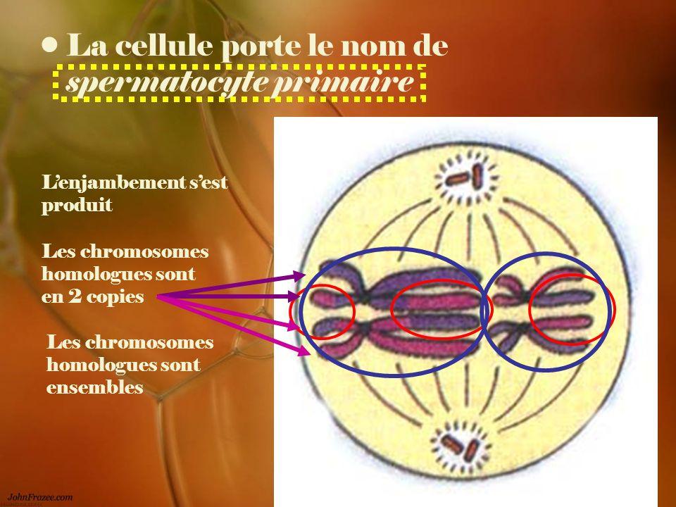 La cellule porte le nom de spermatocyte primaire Lenjambement sest produit Les chromosomes homologues sont ensembles Les chromosomes homologues sont e