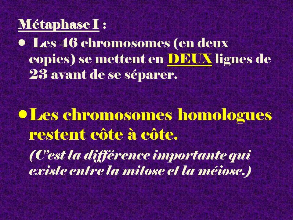 Métaphase I : Les 46 chromosomes (en deux copies) se mettent en DEUX lignes de 23 avant de se séparer. Les chromosomes homologues restent côte à côte.