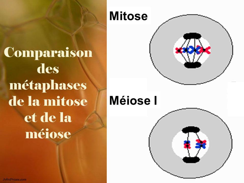 Comparaison des métaphases de la mitose et de la méiose Mitose Méiose I