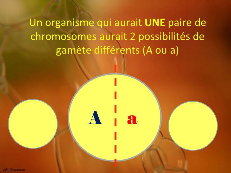 Un organisme qui aurait UNE paire de chromosomes aurait 2 possibilités de gamète différents (A ou a) Aa