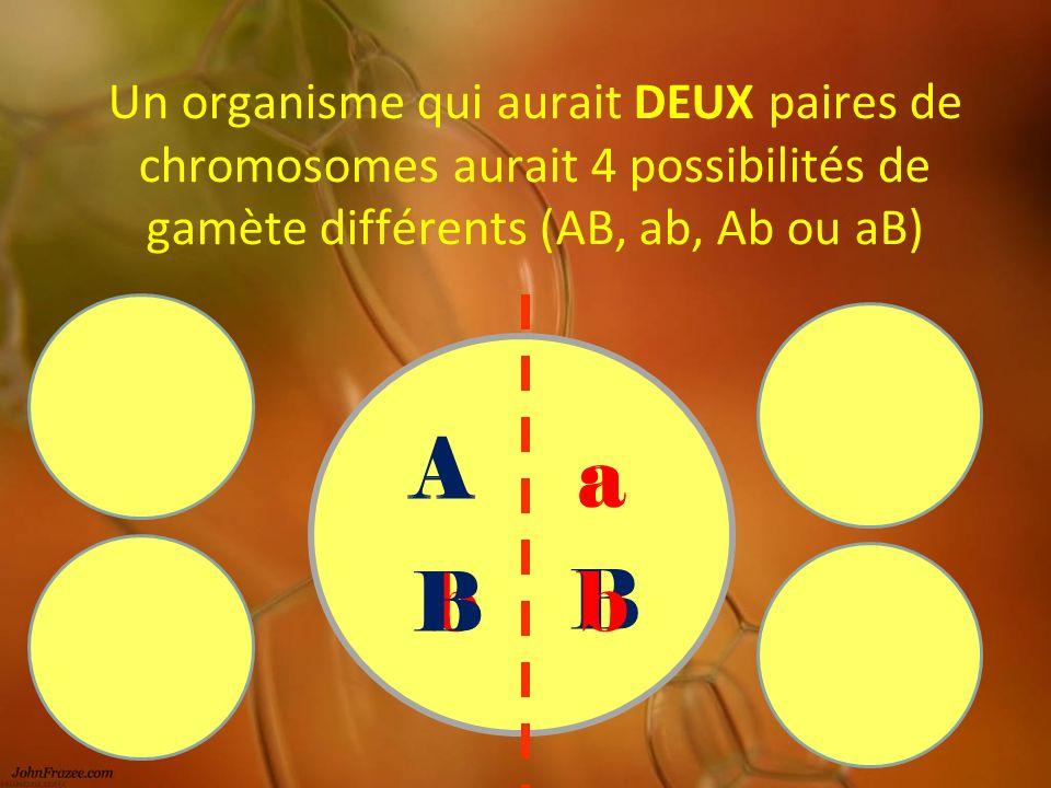 Un organisme qui aurait DEUX paires de chromosomes aurait 4 possibilités de gamète différents (AB, ab, Ab ou aB) b B A A B a a b