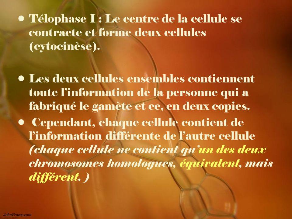 Télophase I : Le centre de la cellule se contracte et forme deux cellules (cytocinèse). Les deux cellules ensembles contiennent toute linformation de