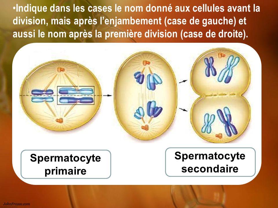 Spermatocyte primaire Spermatocyte secondaire Indique dans les cases le nom donné aux cellules avant la division, mais après lenjambement (case de gau