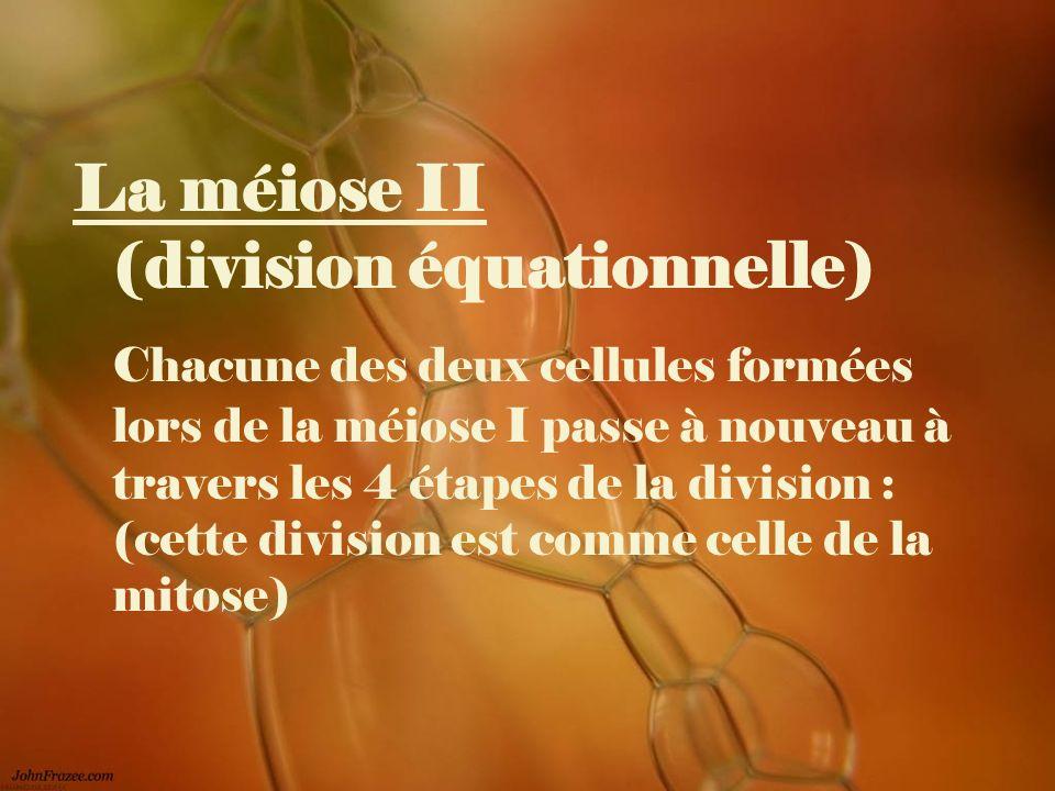 La méiose II (division équationnelle) Chacune des deux cellules formées lors de la méiose I passe à nouveau à travers les 4 étapes de la division : (c