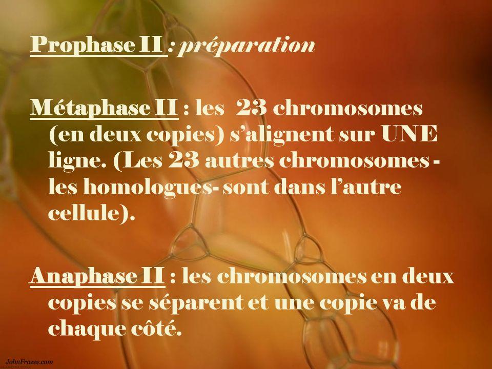 Prophase II : préparation Métaphase II : les 23 chromosomes (en deux copies) salignent sur UNE ligne. (Les 23 autres chromosomes - les homologues- son