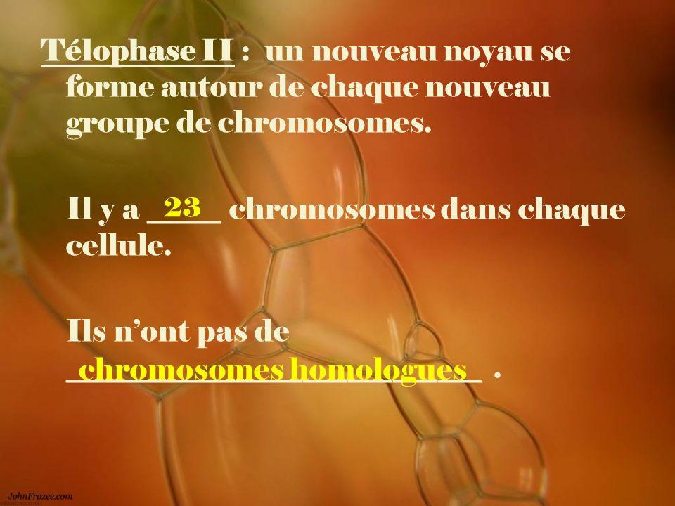 Télophase II : un nouveau noyau se forme autour de chaque nouveau groupe de chromosomes. Il y a _____ chromosomes dans chaque cellule. Ils nont pas de