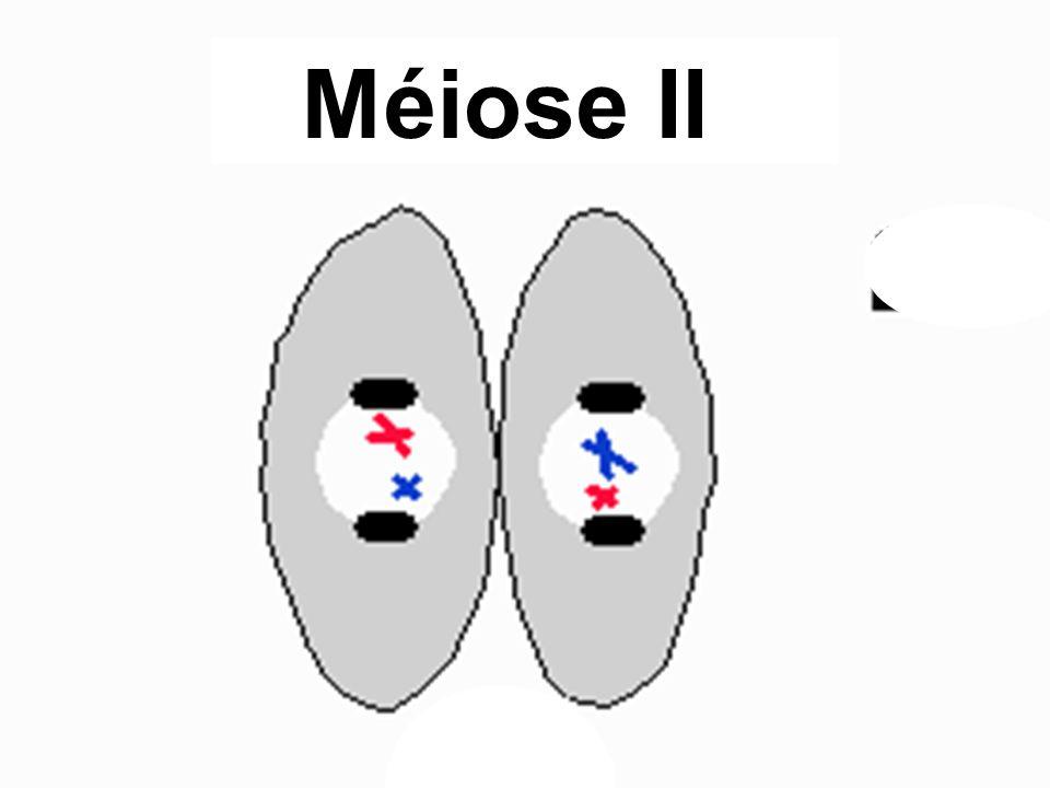 Méiose II
