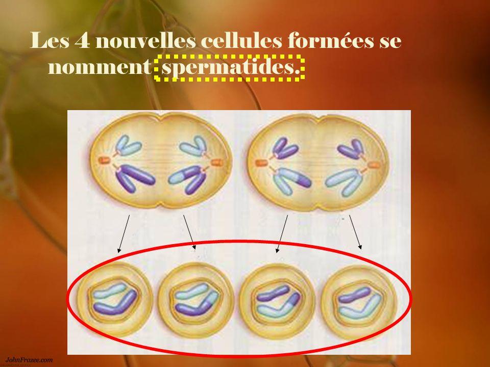 Les 4 nouvelles cellules formées se nomment spermatides.