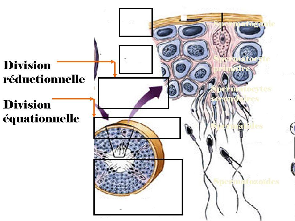 Spermatozoïdes Spermatocyte primaire Spermatocytes secondaires Spermatides Spermatogonie Division réductionnelle Division équationnelle