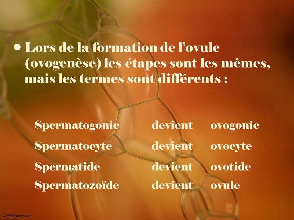 Lors de la formation de lovule (ovogenèse) les étapes sont les mêmes, mais les termes sont différents : Spermatogonie devientovogonie Spermatocyte dev