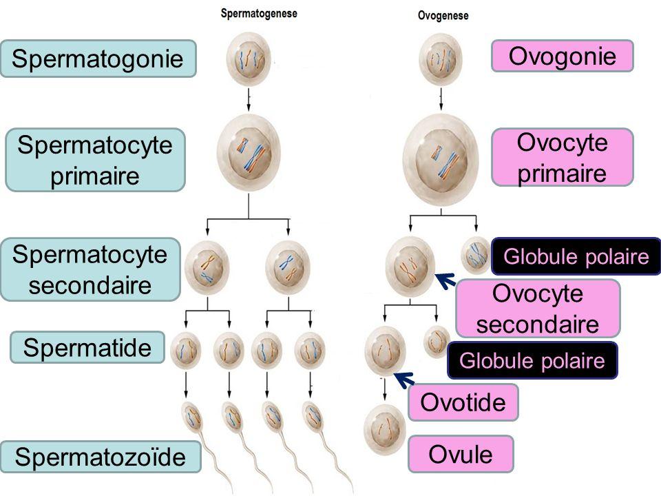 Spermatogonie Ovogonie Spermatocyte primaire Ovocyte primaire Spermatocyte secondaire Ovocyte secondaire Globule polaire Ovotide Spermatide Spermatozo
