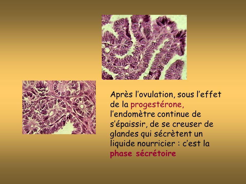 Après lovulation, sous leffet de la progestérone, lendomètre continue de sépaissir, de se creuser de glandes qui sécrètent un liquide nourricier : cest la phase sécrétoire