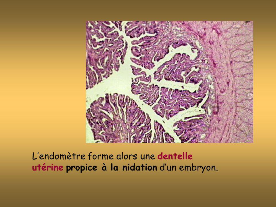 Lendomètre forme alors une dentelle utérine propice à la nidation dun embryon.