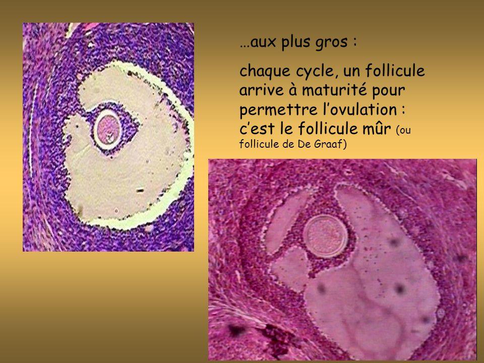 Quelque soit son stade de maturité, chaque follicule comporte un ovule (ou ovocyte : grosse cellule reprodutrice) entouré de cellules folliculaires.