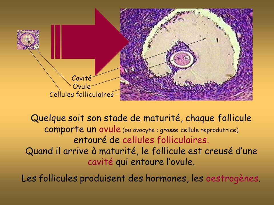 Léchographie ovarienne permet ici de déceler un follicule arrivant à maturité vers le 13ème jour de chaque cycle.