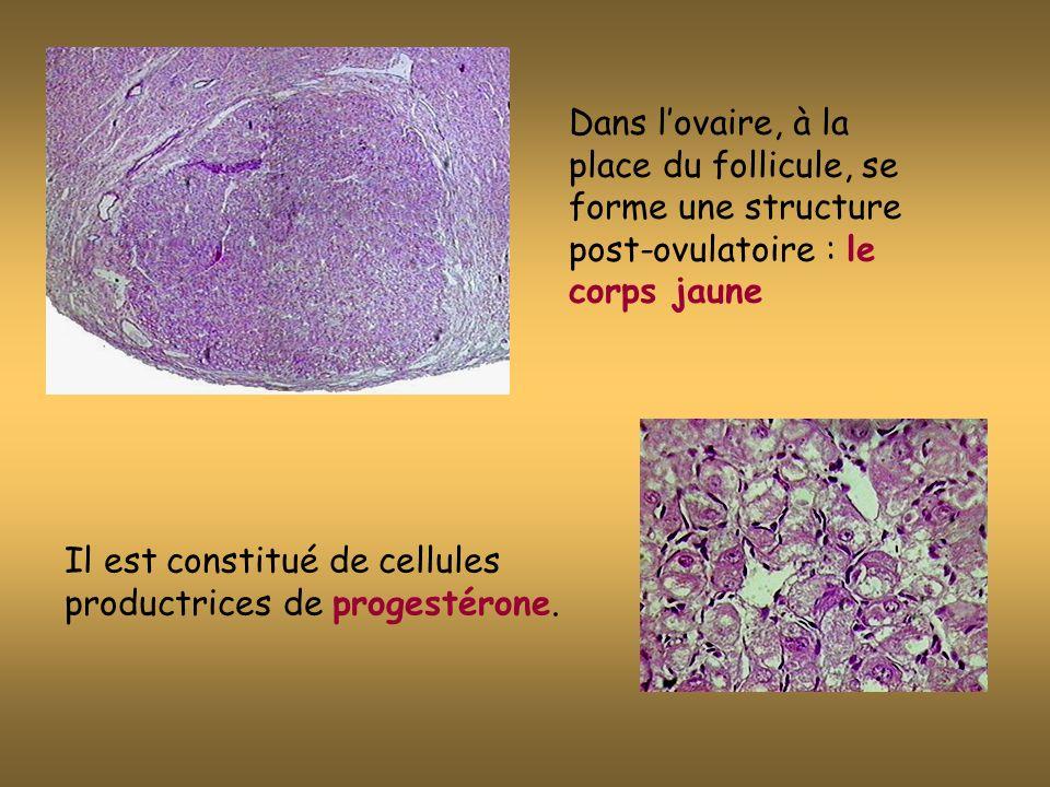 Dans lovaire, à la place du follicule, se forme une structure post-ovulatoire : le corps jaune Il est constitué de cellules productrices de progestérone.