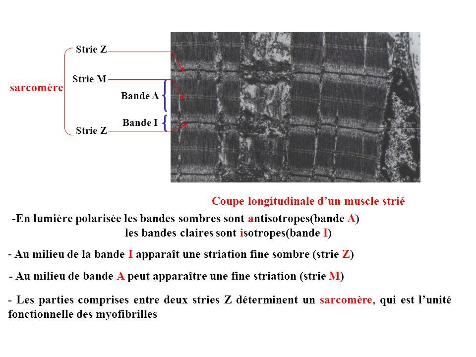 Coupe longitudinale dun muscle strié -En lumière polarisée les bandes sombres sont antisotropes(bande A) - Au milieu de la bande I apparaît une striat