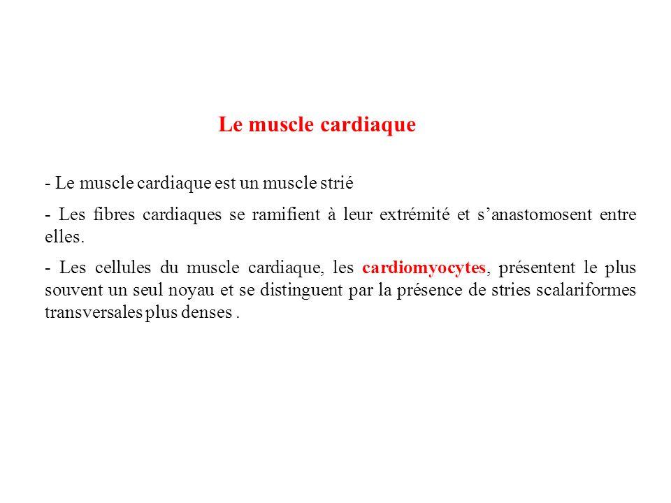 Le muscle cardiaque - Le muscle cardiaque est un muscle strié - Les fibres cardiaques se ramifient à leur extrémité et sanastomosent entre elles. - Le