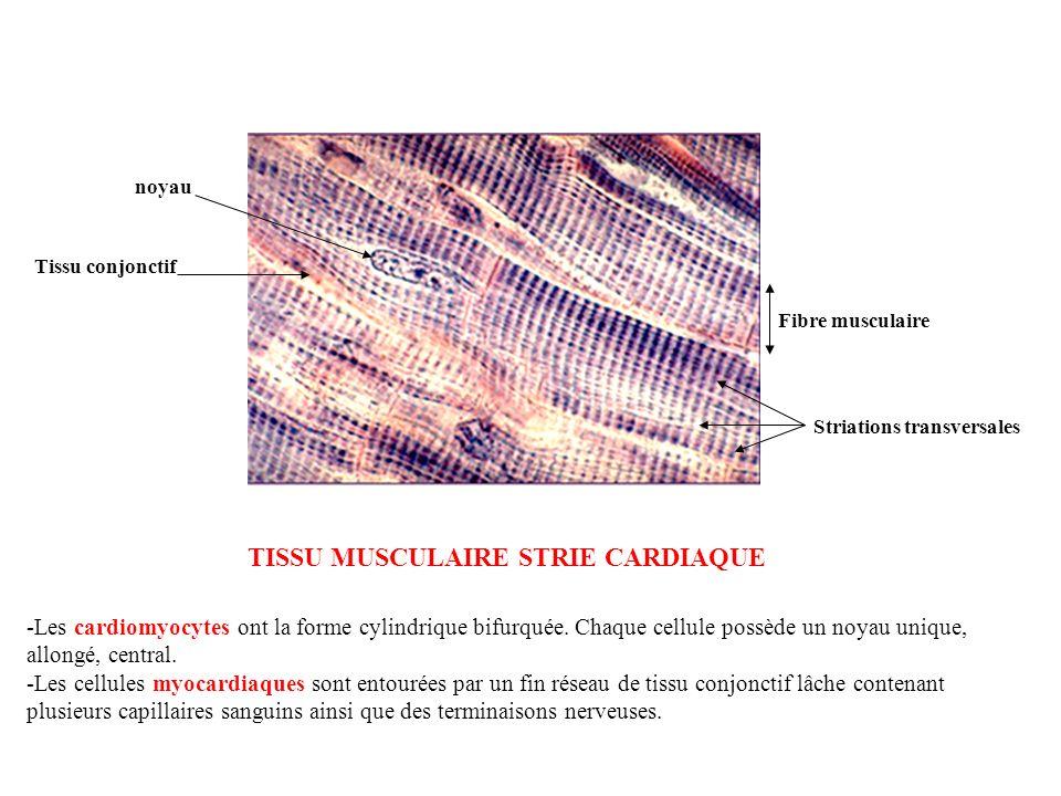 Fibre musculaire Striations transversales Tissu conjonctif noyau TISSU MUSCULAIRE STRIE CARDIAQUE -Les cardiomyocytes ont la forme cylindrique bifurqu