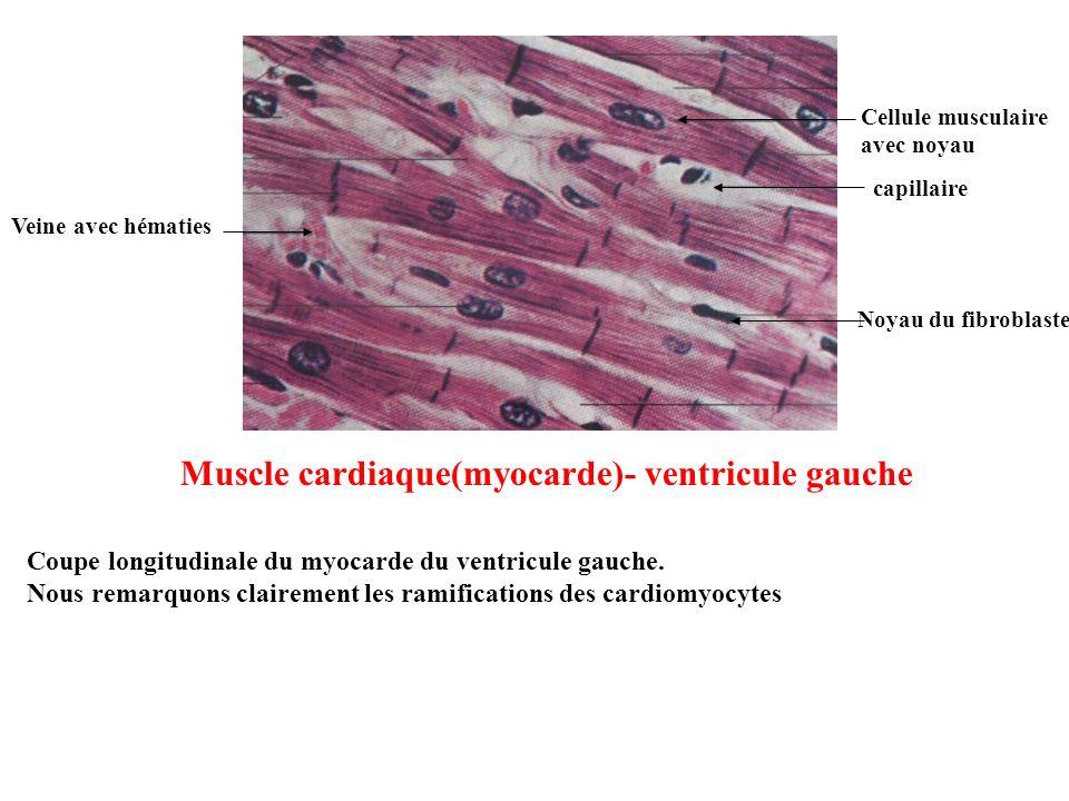 Muscle cardiaque(myocarde)- ventricule gauche Veine avec hématies Cellule musculaire avec noyau capillaire Noyau du fibroblaste Coupe longitudinale du