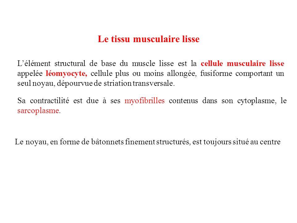 Le tissu musculaire lisse Lélément structural de base du muscle lisse est la cellule musculaire lisse appelée léomyocyte, cellule plus ou moins allong