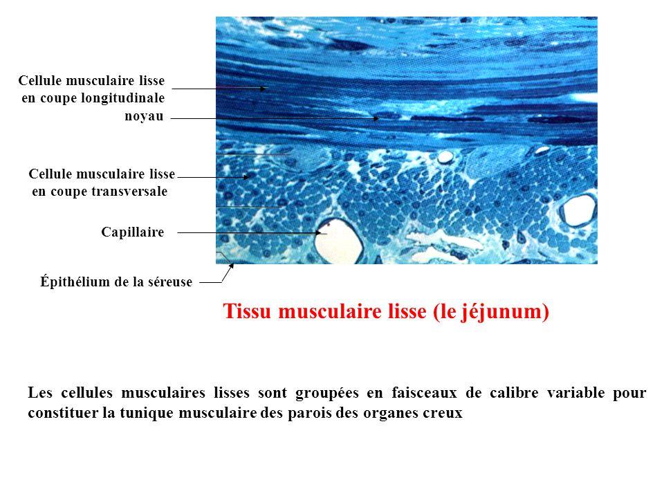 Cellule musculaire lisse en coupe longitudinale Cellule musculaire lisse en coupe transversale Épithélium de la séreuse Capillaire Tissu musculaire li