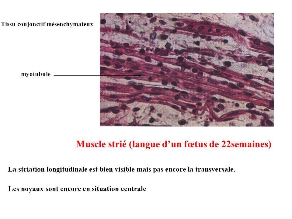 Muscle strié (langue dun fœtus de 22semaines) La striation longitudinale est bien visible mais pas encore la transversale. Les noyaux sont encore en s