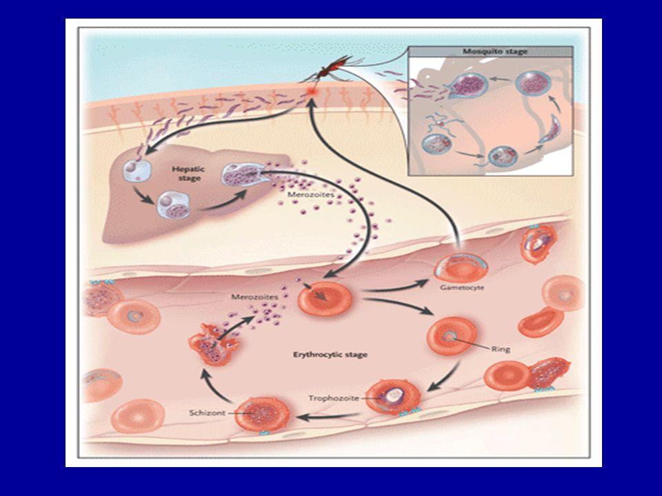 La prophylaxie anti-vectorielle 3 mesures de protection anti-vectorielle ont fait la preuve de leur efficacité chez lenfant et ladulte : - la protection vestimentaire avec le port de vêtements imprégnés dinsecticides (perméthrine) - les répulsifs cutanés (insectifuges) - la moustiquaire imprégnée de pyréthrinoïdes (deltaméthrine ou perméthrine)