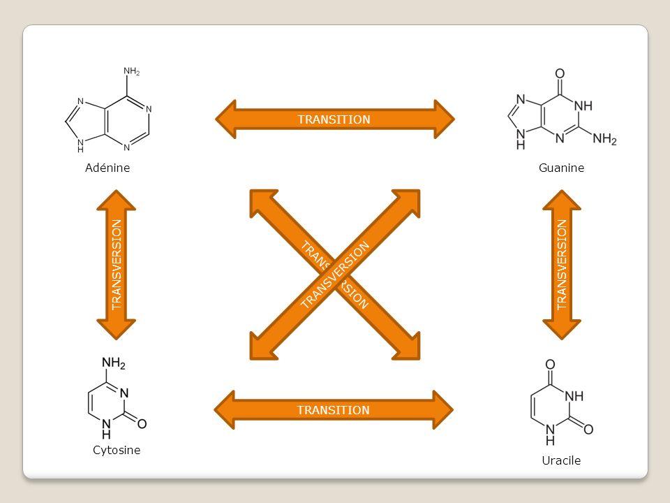Guanine Uracile Adénine TRANSITION TRANSVERSION Cytosine