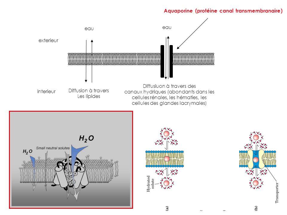 exterieur interieur Aquaporine (protéine canal transmembranaire) eau Diffusion à travers Les lipides Diffusiuon à travers des canaux hydriques (abonda