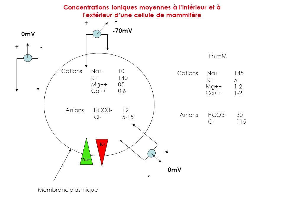 Concentrations ioniques moyennes à lintérieur et à lextérieur dune cellule de mammifère Cations Na+10 K+140 Mg++05 Ca++0,6 AnionsHCO3-12 Cl-5-15 Catio