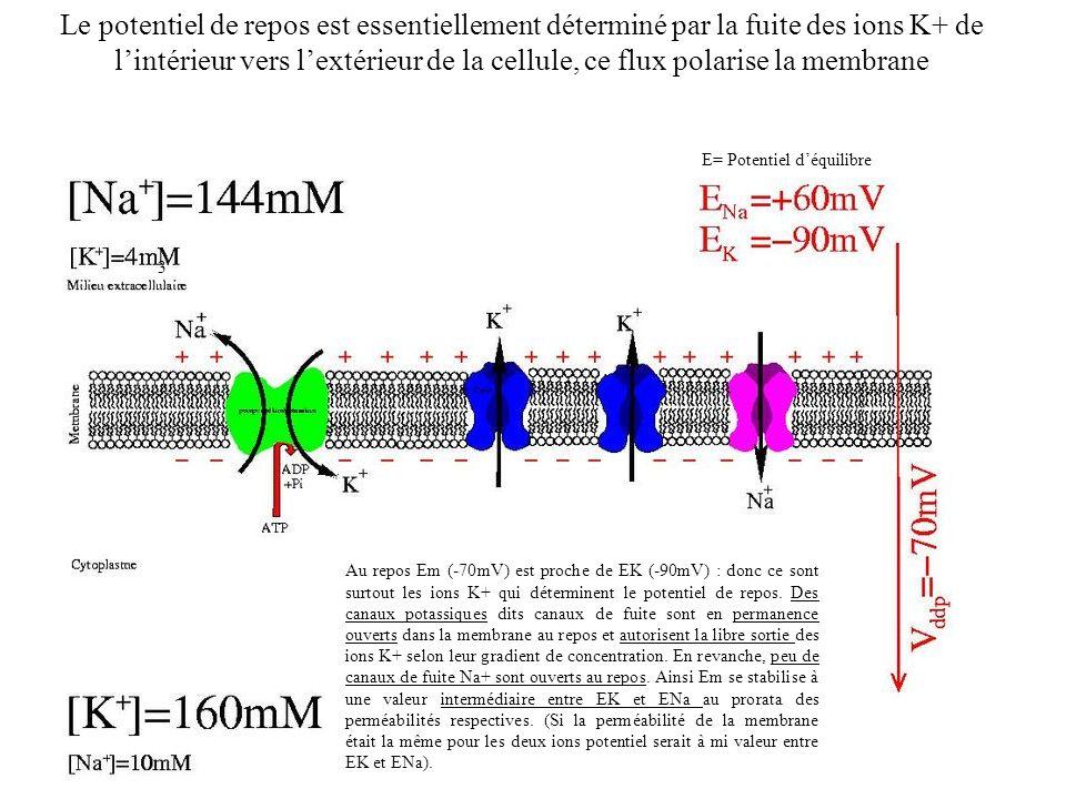 3 2 Au repos Em (-70mV) est proche de EK (-90mV) : donc ce sont surtout les ions K+ qui déterminent le potentiel de repos. Des canaux potassiques dits