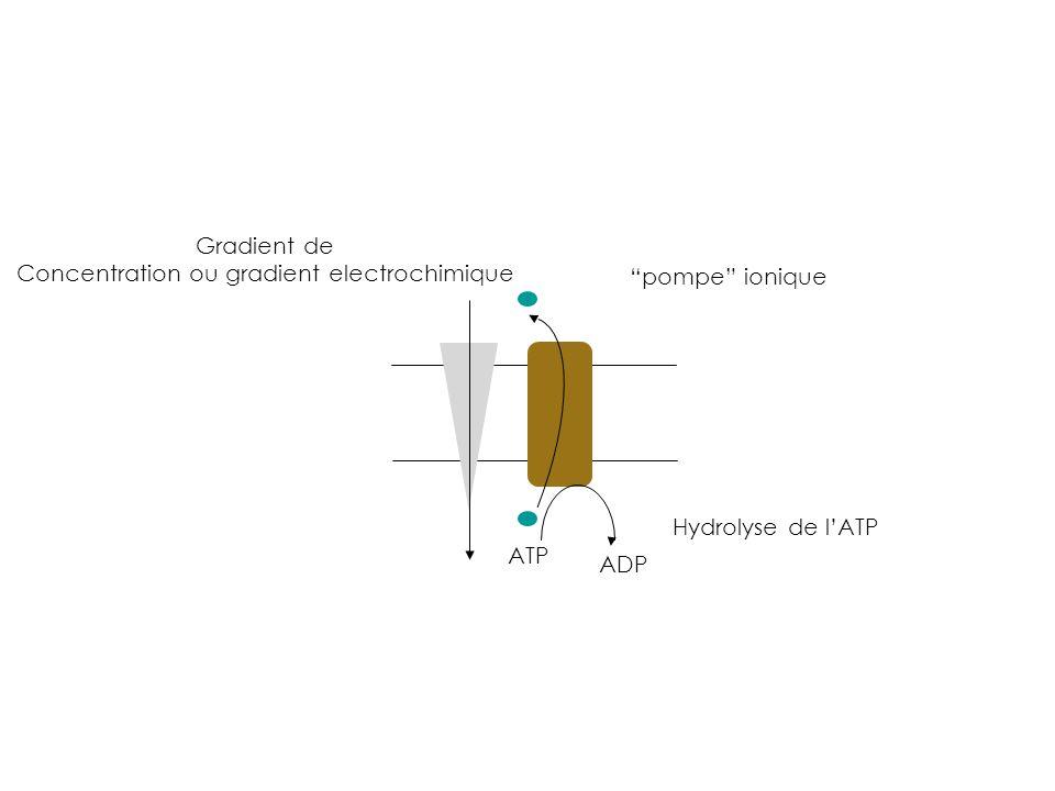Gradient de Concentration ou gradient electrochimique pompe ionique Hydrolyse de lATP ATP ADP