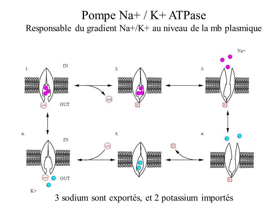 Pompe Na+ / K+ ATPase Responsable du gradient Na+/K+ au niveau de la mb plasmique 3 sodium sont exportés, et 2 potassium importés Na+ K+ IN OUT IN OUT