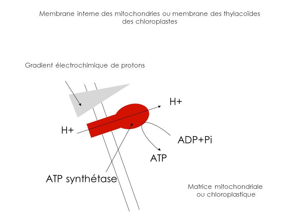 ADP+Pi ATP H+ ATP synthétase Membrane interne des mitochondries ou membrane des thylacoïdes des chloroplastes Gradient électrochimique de protons Matr