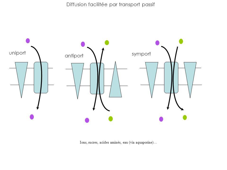 uniport antiport symport Diffusion facilitée par transport passif Ions, sucres, acides aminés, eau (via aquaporine)…