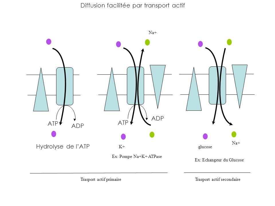 Diffusion facilitée par transport actif Hydrolyse de lATP ATP ADP ATP ADP Na+ glucose K+ Na+ Ex: Pompe Na+K+ ATPase Ex: Echangeur du Glucose Trasport