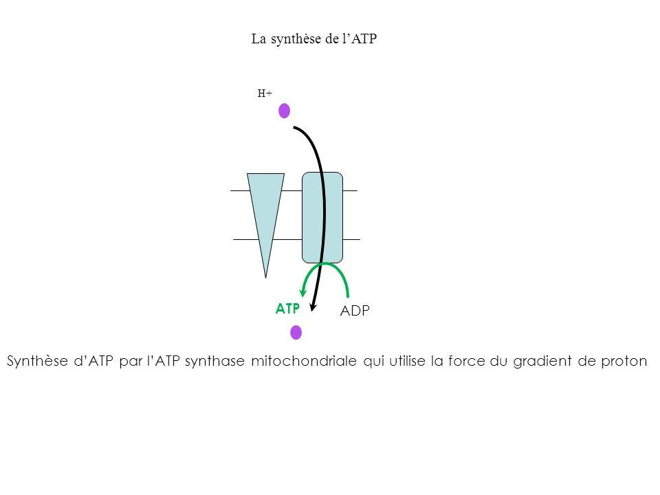 Synthèse dATP par lATP synthase mitochondriale qui utilise la force du gradient de proton ATP ADP H+ La synthèse de lATP
