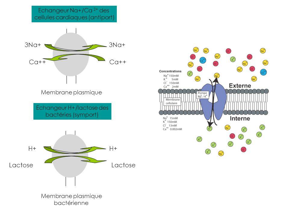 3Na+ Ca++ H+ Lactose H+ Membrane plasmique bactérienne Echangeur Na+/Ca 2+ des cellules cardiaques (antiport) Echangeur H+/lactose des bactéries (symp