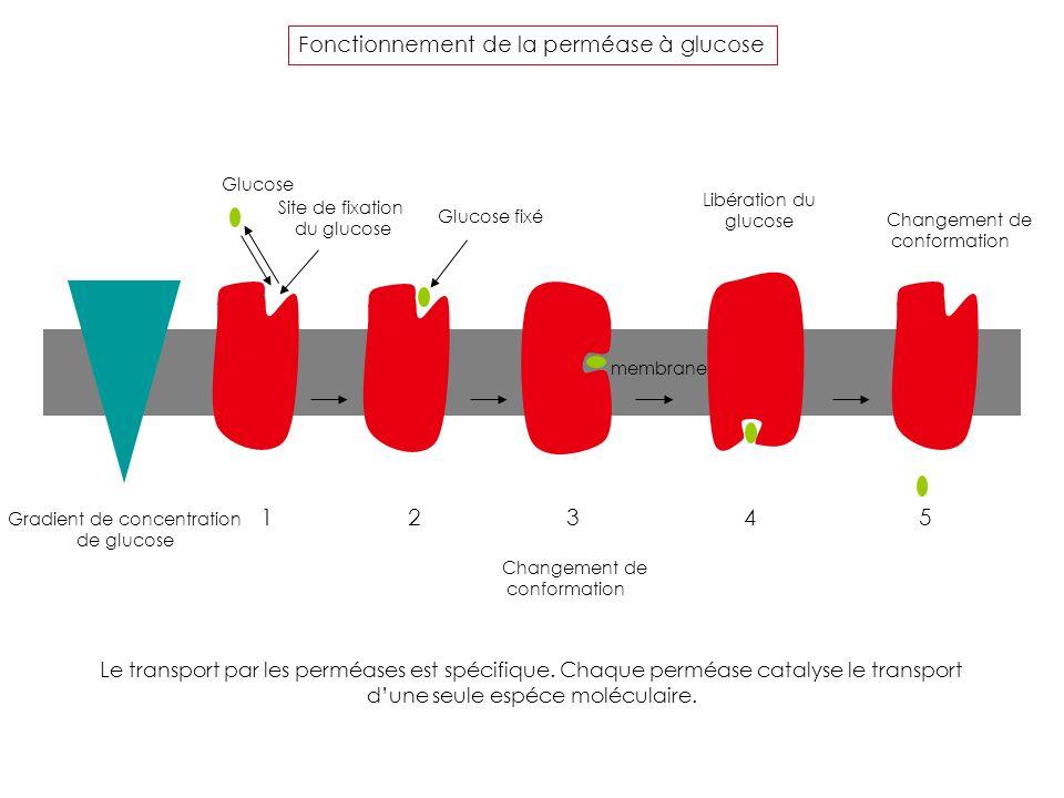 Site de fixation du glucose Glucose Glucose fixé Gradient de concentration de glucose membrane Changement de conformation Libération du glucose Change