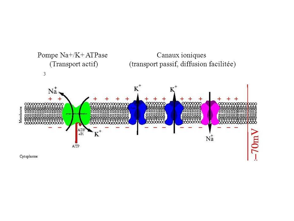 3 2 Canaux ioniques (transport passif, diffusion facilitée) Pompe Na+/K+ ATPase (Transport actif)