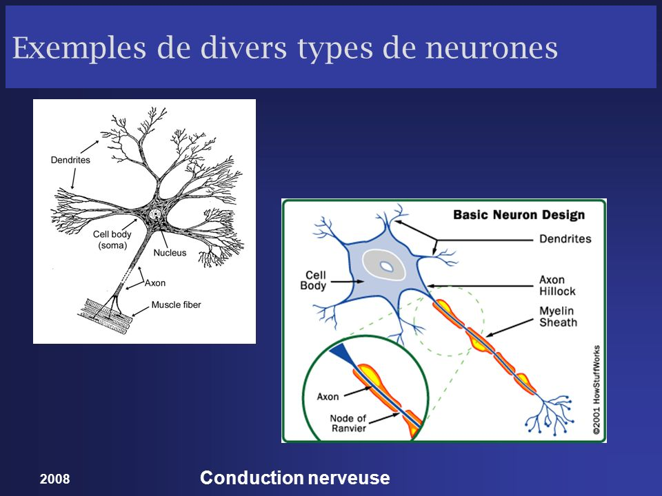 2008 Conduction nerveuse Exemples de divers types de neurones