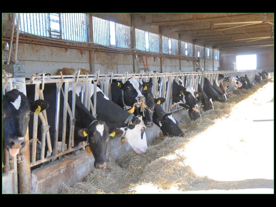 mais petite déception les vaches reggiana sont comme des poules en batteries soit toute leur vie à létable sans bon de sortie !!!