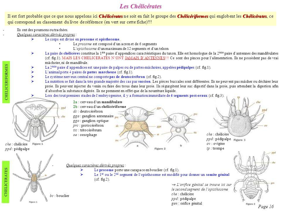 Les Chélicérates Page 16 -Ils ont des poumons ou trachées. -Quelques caractères dérivés propres : Le corps est divisé en prosome et opisthosome. Le pr