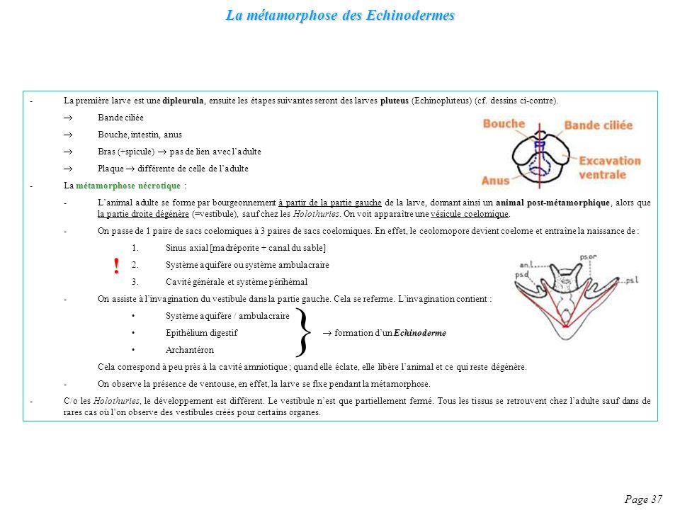 La métamorphose des Echinodermes Page 37 dipleurulapluteus -La première larve est une dipleurula, ensuite les étapes suivantes seront des larves pluteus (Echinopluteus) (cf.